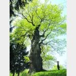 Дуб, под которым отдыхал Богдан Хмельницкий, уже более тысячи лет растет в Львовской области
