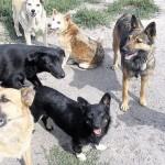 Стая собак напала на ребенка в Черновцах