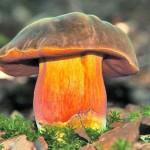 В Карпатах смакуют грибной свежатиной